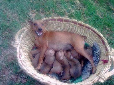 Cerco Cuccioli Di Chihuahua In Regalo A Roma Regalo Butsudan