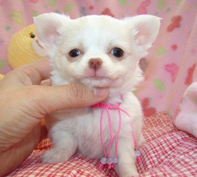 Regalo bellissima cucciolata di chihuahua for Regalo a chi