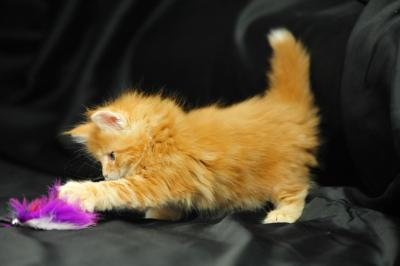 REGALO Gattini maine coon disponibili
