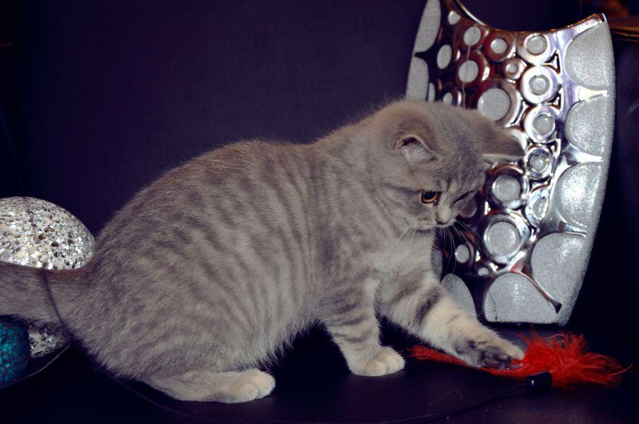Regalo British Shorthair Gattini Per Ladozione