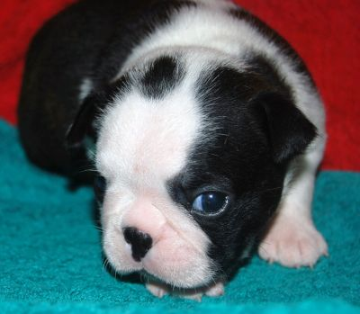 BOSTON TERRIER MASCHIETTO