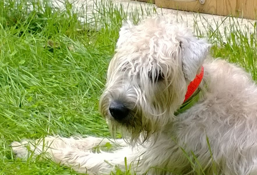 Cuccioli IRISH SOFT COATED WHEATEN TERRIER pelo ANALLERGICO